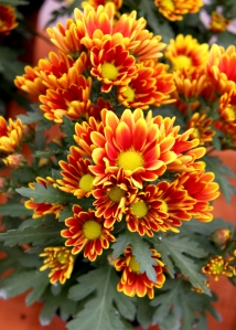 chrysanthemum x