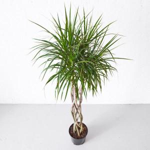 dracaena-marginata-plant_4_600x