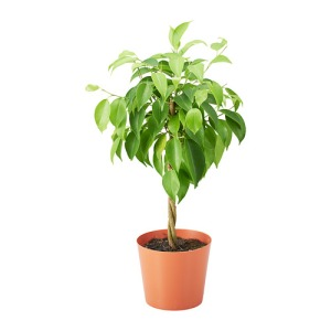 ficus-benjamina-potted-plant__0554557_PE659822_S4