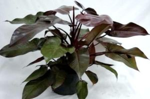 philodendron_erubescens_royal_queen_