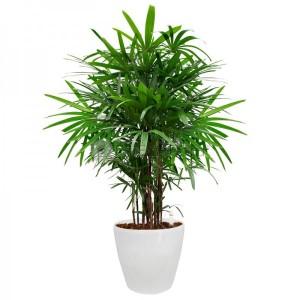 rhapis_excelsa_lady_palm_in_hg-3102_pot_28cmxh26cm_-_white_1